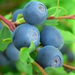 Czarne jagody – właściwości